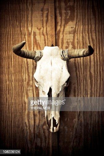 cow skull : Stock Photo