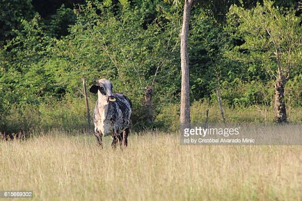 Cow standing alone