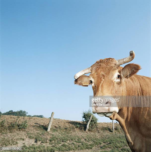 Cow standing in field, close-up