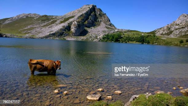 Cow Standing In Lake