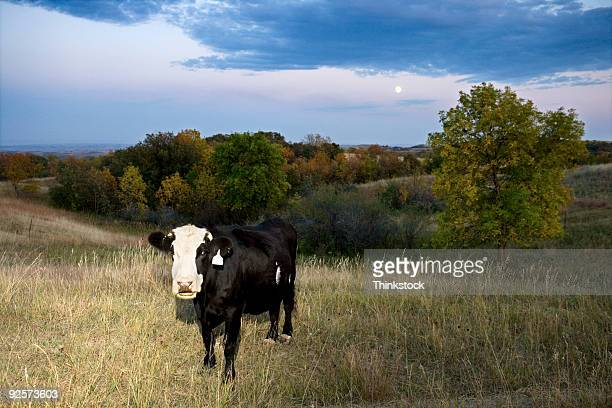 Cow standing in rural field