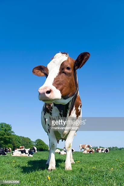 Cow stehen