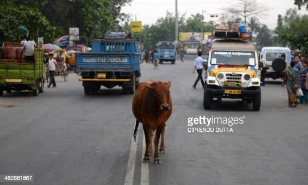 A cow stands between vehicles passin along National Highway NH55 in Siliguri on April 4 2014 Indian election frontrunner Narendra Modi the vegetarian...