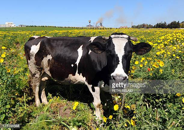 A cow stands in a field by a factory of EL Fouladh the Tunisian Steel Manufacturing Company which belches smokes as it produces steel billets in...