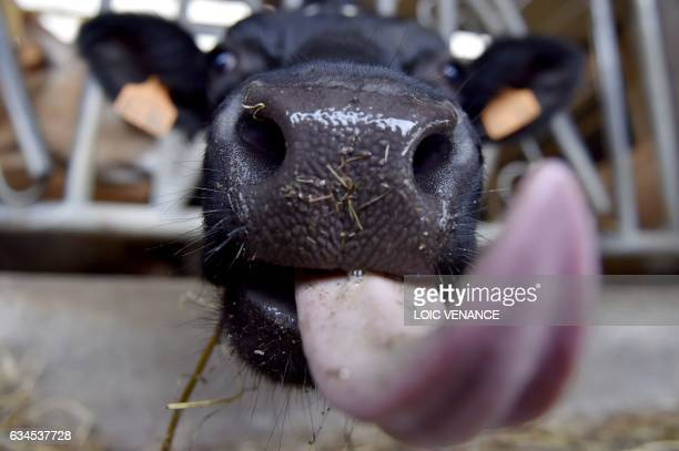 A cow stands in a pen of an organic dairy farm in Evran western France on February 10 2017 / AFP / LOIC VENANCE
