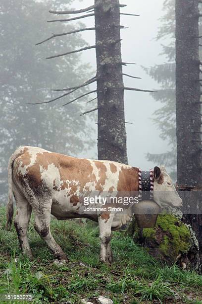 A cow stands in the alpine mountains during the annual cattle drive descent on September 13 2012 near Oberstdorf Germany The herdsmen bring the...