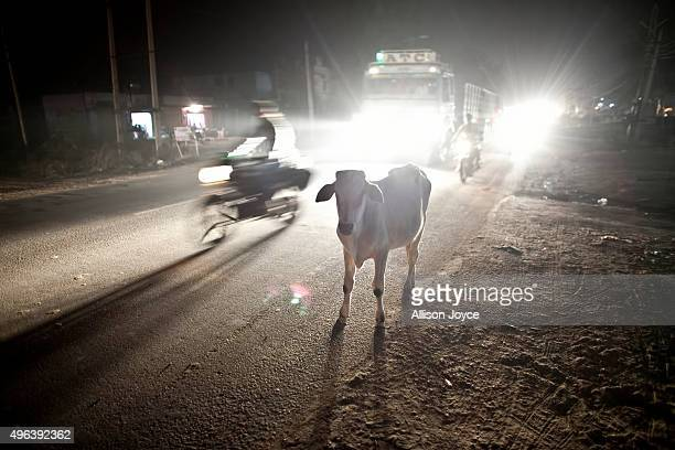 A cow stands on a road November 8 2015 in Ramgarh Rajasthan India The local 'cow vigilante' group headed by Nawal Kishore Sharma is one of dozens of...