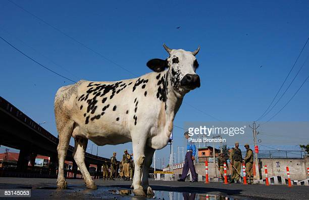 A cow stands on the quiet streets as Indian security forces stand guard during a curfew October 6 2008 in Srinagar Kashmir India A strict curfew in...