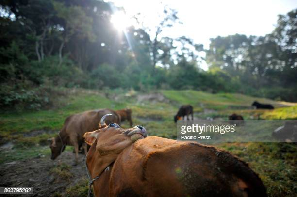 Cow taken out from cow hut to offer ritual puja worship during the procession of Tihar or Deepawali and Diwali celebrations at Kathmandu Nepal on...