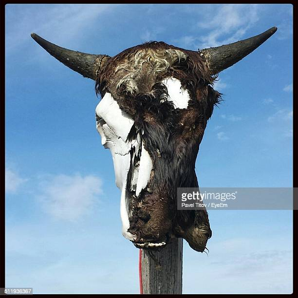 Cow taxidermy bust