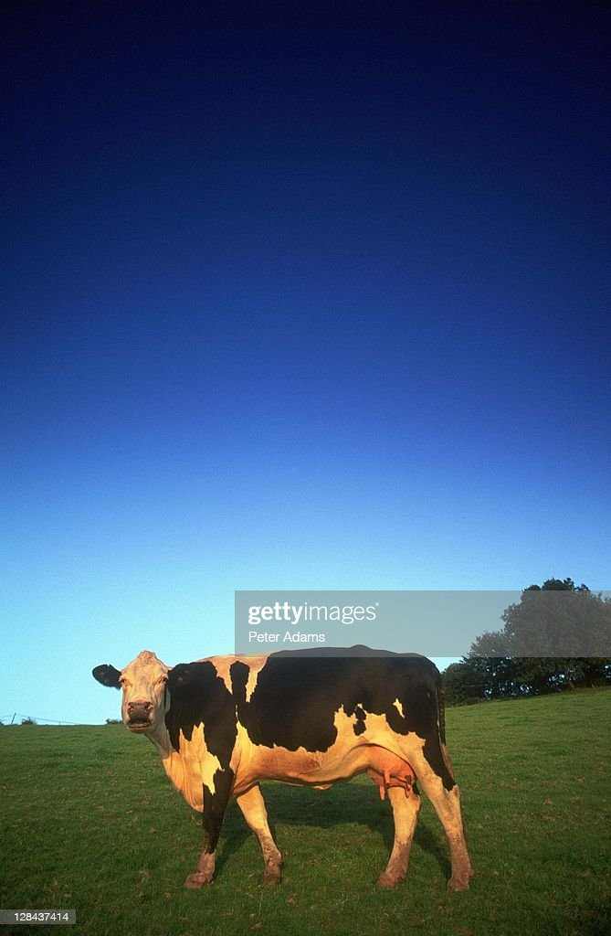 cow, uk : Stock Photo