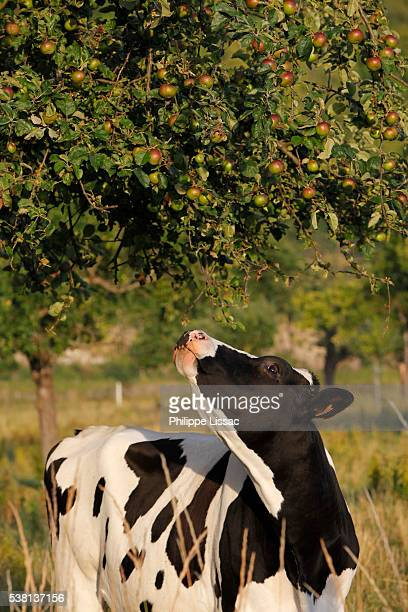 Cow under an apple tree