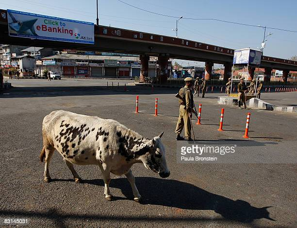 A cow walks on the quiet streets as Indian security forces stand guard during a curfew October 6 2008 in Srinagar Kashmir India A strict curfew in...