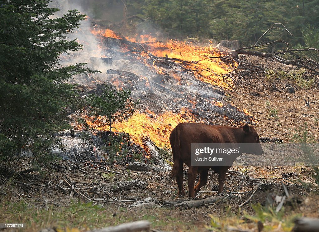 A cow walks through a section of forest that was burned by the Rim Fire outside of Camp Mather on August 24, 2013 near Groveland, California. The Rim Fire continues to burn out of control and threatens 4,500 homes outside of Yosemite National Park. Over 2,000 firefighters are battling the blaze that has entered a section of Yosemite National Park and is currently 5 percent contained.