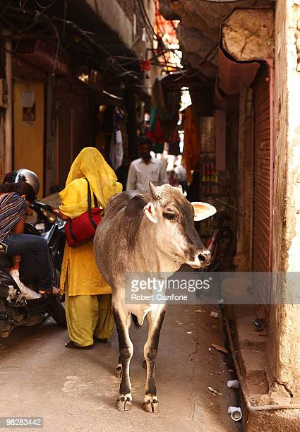 A cow wanders the streets at the local markets in the walled city centre on April 6 2010 in Jaipur India Jaipur which is the captial city of...