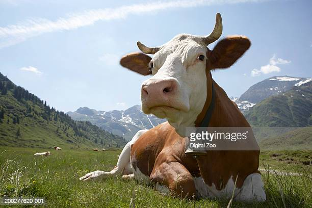 Cow wearing bell, sitting on grass, close-up