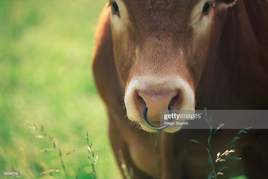 Cow with a nose ring : Stock Photo