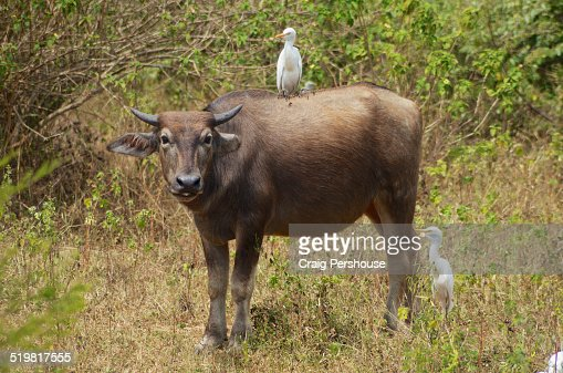 Cow with attendant white egrets