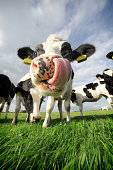 Amusing close-up of a Holstein cow sticking its tongue in its nose, outside in a field