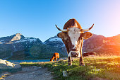Cow with long horns grazing in the mountains to sun in the summer