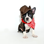 Boston Terrier puppy dressed up in a cowboy outfit, on a white background.
