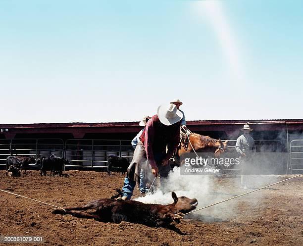 Cowboy branding calf