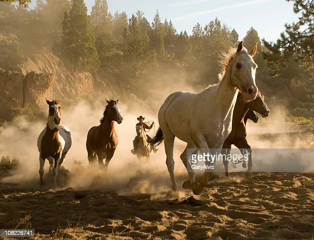Cowboy chasing five running horses towards camera-backlit dust