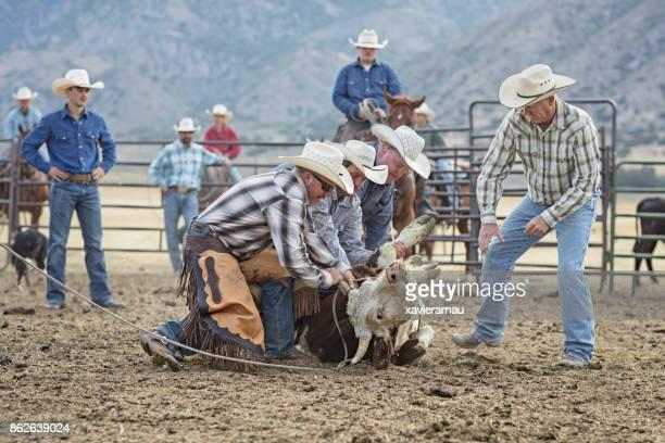 Vache de tenue de cow-boy prête à la marque dans l'Utah, USA
