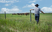horizontal image of  cowboy wearing jeans and cowboy hat stands and leans against  fence in green grass and watches as his horses graze in pasture under  beautiful blue sky with clouds in summer time