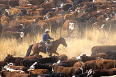 A cowboy on a horse surrounded by livestock during a cattle drive