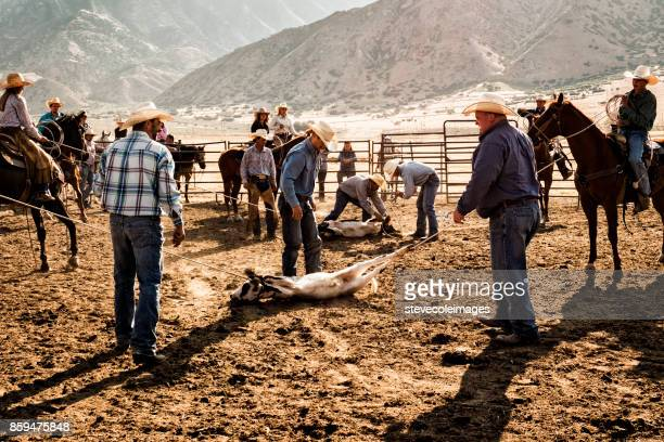 Cowboy Roping Cow for Branding