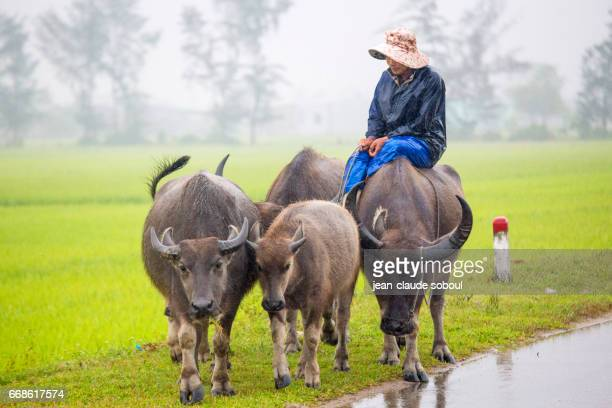 Cowboy walking her flock of buffalo in the rain, in Hue district (vietnam)