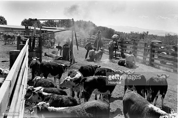 Cowboys branding calves in a corral