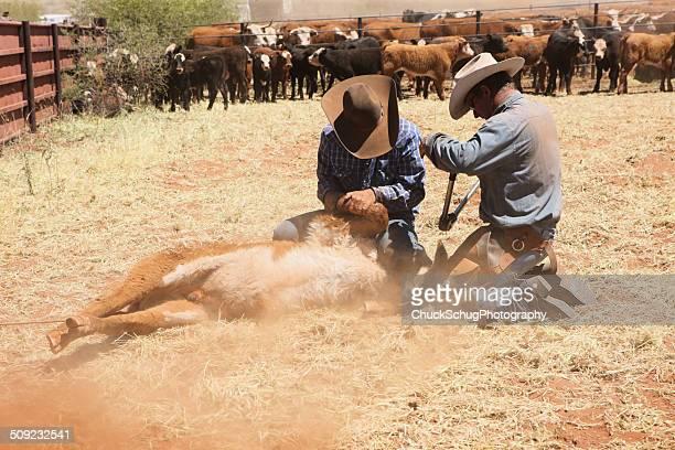 Cowboys Branding Neutering-Rind