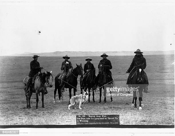 Cowboys bring in a gray wolf they roped during 'Round Up in Wyoming' 1890