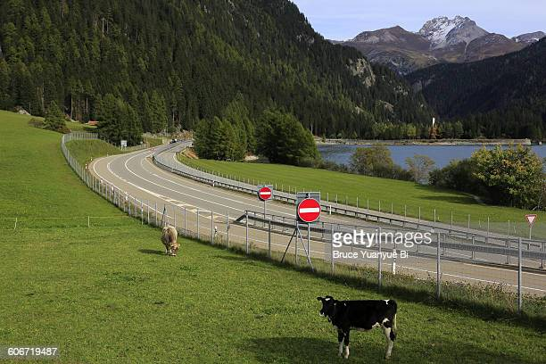 Cows and A 13 Motorway near Viamala