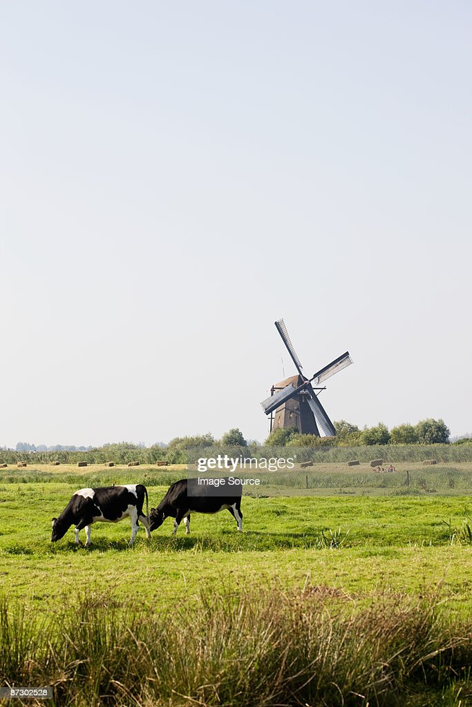 Cows and a windmill