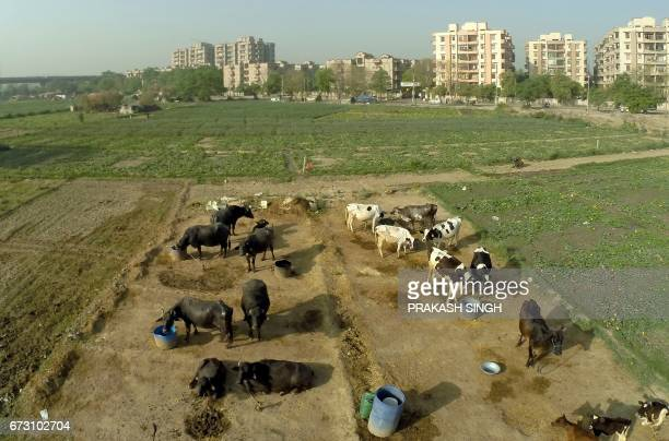 Cows and buffalos are seen outside a dairy on the outskirts of the Indian capital New Delhi on April 26 2017 India could issue millions of cows with...