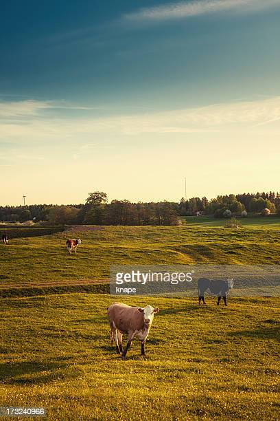 Cows and dusk