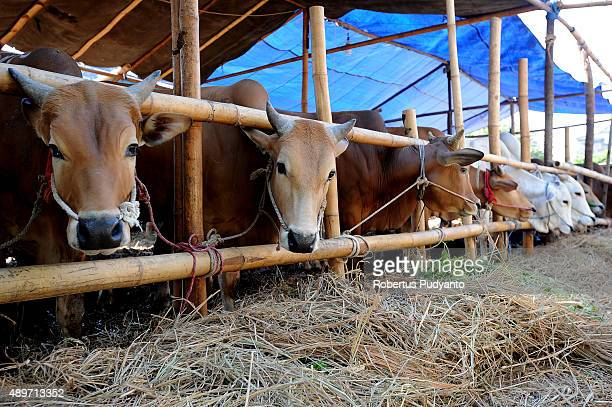 Cows are lined up for sale at a livestock market as Indonesian Muslims prepare for Eid AlAdha on September 24 2015 in Surabaya Indonesia Muslims...