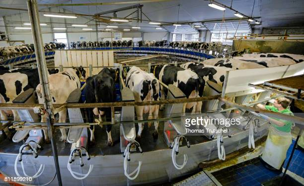 Cows are milked in a milking carousel on a farm on July 10 2017 in Dedelow Germany