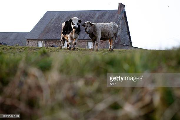 Cows are pictured on February 20 2013 in Guilberville northwestern France AFP PHOTO/CHARLY TRIBALLEAU