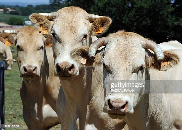 Cows are pictured on May 25 2011 in Samatan south western France AFP PHOTO/PASCAL PAVANI