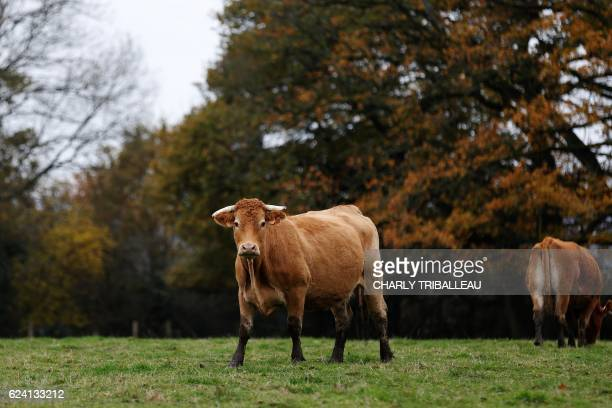 Cows are pictured on November 17 2016 in MoulinslaMarche northwestern France / AFP / CHARLY TRIBALLEAU