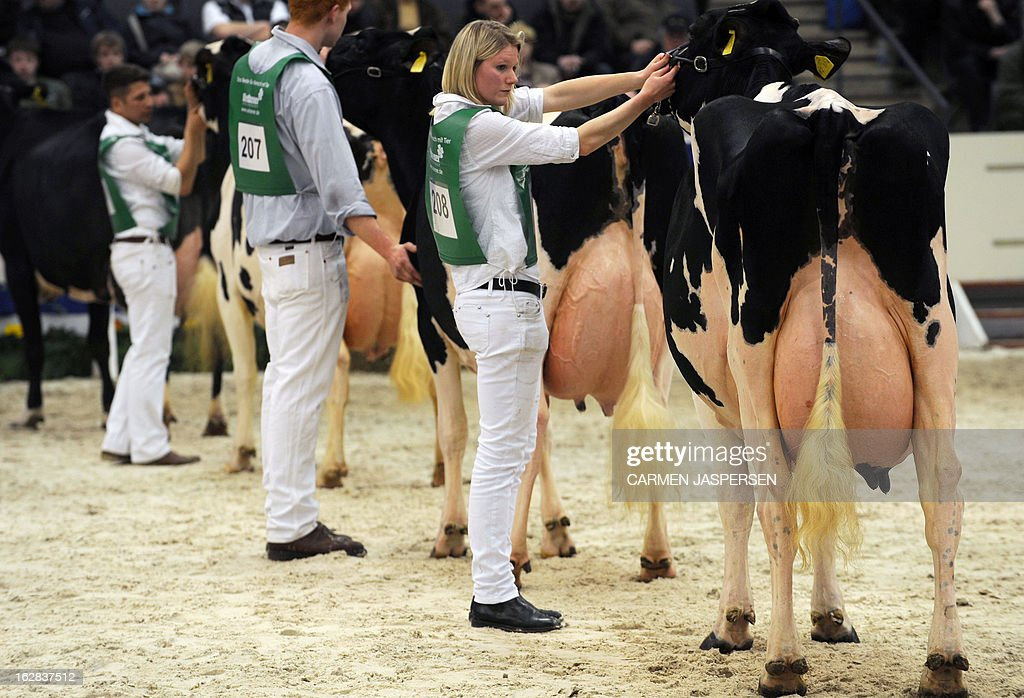 Cows are presented during the '40th Show of the Best' agricultural exhibition on February 28, 2013 in Verden, western Germany. During the annual show, cows from the region compete for the 'Miss' title of the exhibition's beauty contest. AFP PHOTO / CARMEN JASPERSEN GERMANY OUT