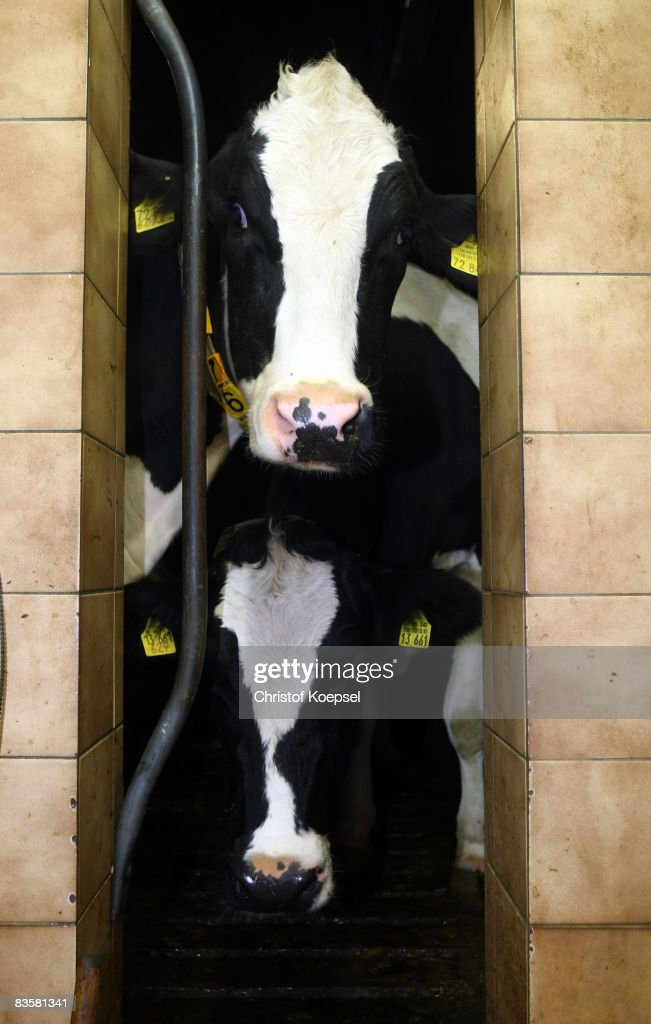 Cows are seen at the milk machine at the farm Baumhoegger-Wieden of farmer Klaus Wieden on November 6, 2008 in Imbach near Leverkusen, Germany. Big discounters like Aldi and Lidl lowered prices due to the actual economic crisis.