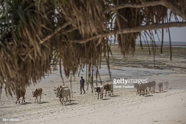 Cows are walked on the beach towards grazing pasture on Msambweni Beach Msambweni is in Kwale county 47 kilometres north east of the Tanzanian border...