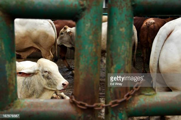 Cows await slaughter at an abattoir on February 20 2013 in West Java Indonesia The price of beef in Indonesia now around Rp 95000 per kilo has risen...