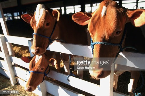 Cows behind a fence : Stockfoto