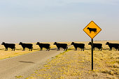 Cows crossing road behind cow crossing sign